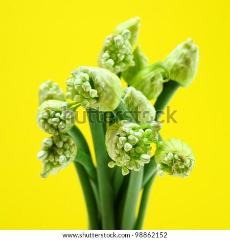 Zwiebel Blütenstänge...