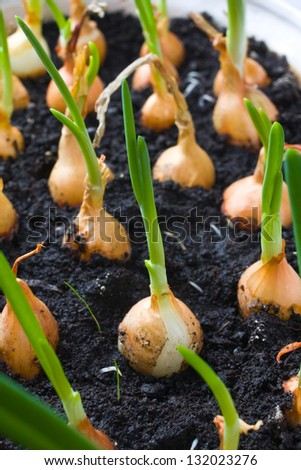 onion growing