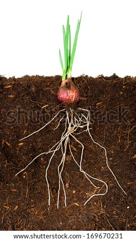 Onion Growing plant with underground root visible