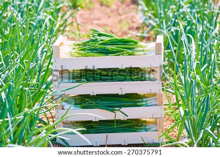 Onion harvest stacked in wooden basket boxes in Mediterranean area