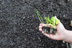 Onion, parsley, leek, chard and creole lettuce seedlings, small plants, ready to plant. Good agroecological practices free of agrochemicals. Responsible Consumption and reduce your ecological footprin