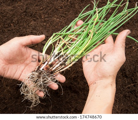 onion plant in the soil