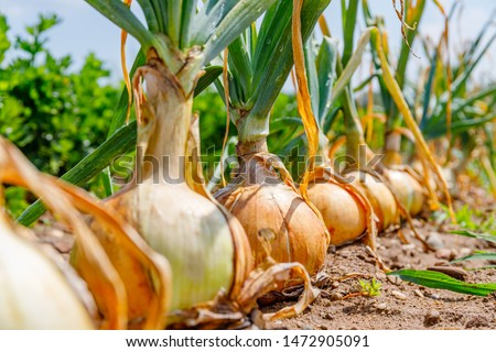 Onion plants row growing on field, close up.  Gardening  background with onion bulb, closeup. Stock photo ©
