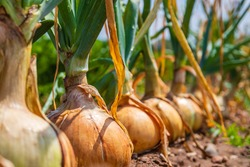 Onion ripe plants growing in field, close up. Harvesting background with onion bulbs, closeup.