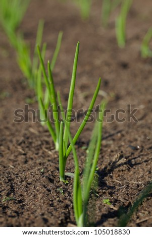Onion sprouts