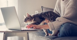 Online work at home, beautiful gray cat sitting on the girl's arms with interest looking into the laptop