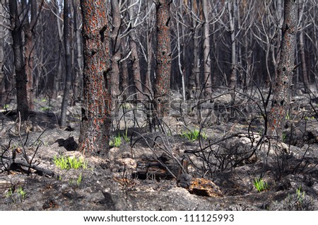 Only 6 days after a forest fire, grass begins to grow - stock photo