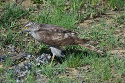 Only the feathers remained of the prey. The Sparrowhawk or lesser hawk (Accipiter nisus) is a species of bird of prey in the hawk family (Accipitridae).