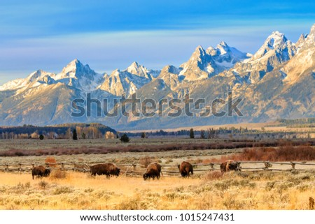 Only the Grand Tetons could outdo the Bison in the foreground. These HUGE animals are always fun to take pictures of.
