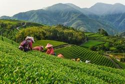 Oolong Tea garden at Alishan in Chiayi,Taiwan