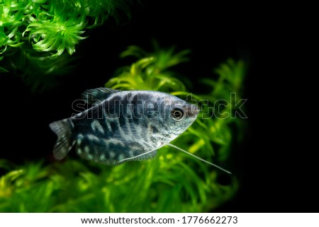 Opaline Gourami/Blue Gourami aquarium fish  Foto stock ©