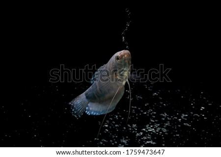 Opaline Gourami/Blue Gourami aquarium fish isolated on Black background Foto stock ©