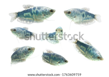 Opaline Gourami /Trichopodus trichopterus tropical aquarium fish  Foto stock ©