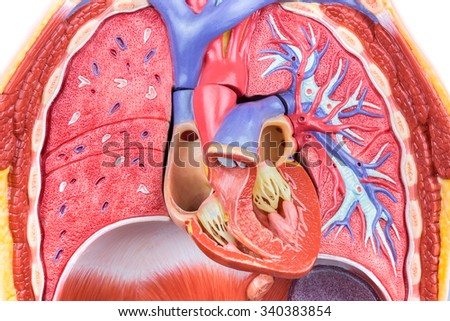 Open Artificial Model Human Body With Lungs And Heart ...