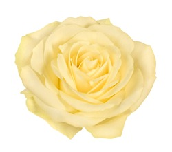 Open bright yellow rose blossom