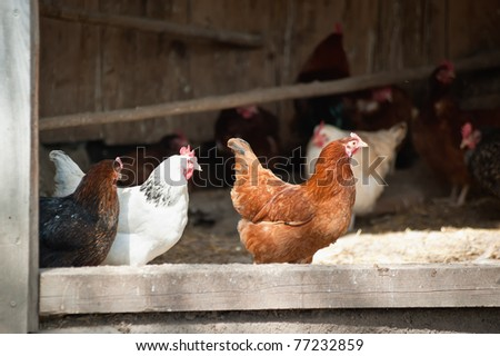 Open Chicken House