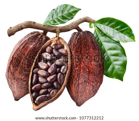 Open cocoa pod with cocoa seeds which is hanging from the branch. Conceptual photo. Clipping path.