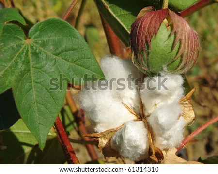 open cotton boll and closed one with leaf on the branch