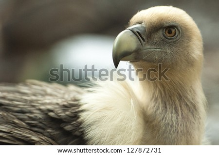 Open eyed Griffon Vulture