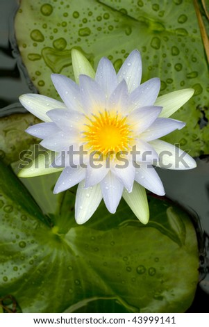 Open flower of a fragrant white water lily seen from above