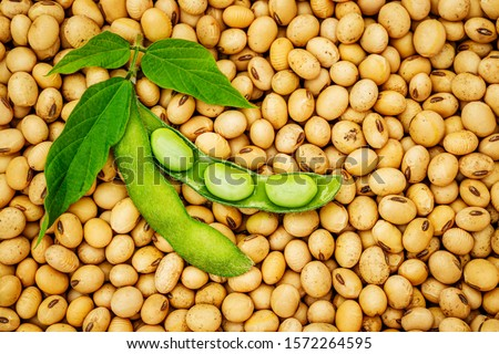 Open green soybean pod with leaves on dry soy beans background. Soy bean, close up.   Foto d'archivio ©