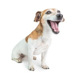 Open mouth screaming yawning funny dog. Sly small pup face. White background.  Cute Jack Russell terrier