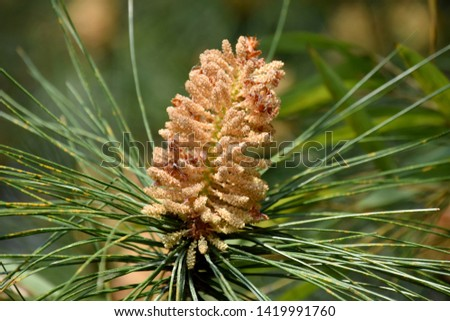 Open pine nuts on pine branches #1419991760