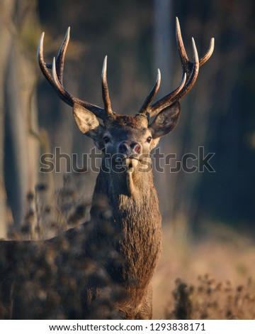 Open range Majestic Red Deer Stag in natural enviroment. #1293838171