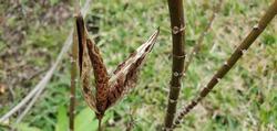 open seed pod of Milkweed plant