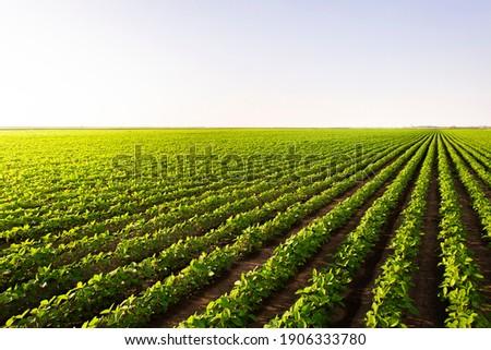 Open soybean field at sunset.Soybean field . Stock photo ©