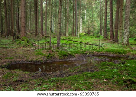Open standing water inside coniferous stand in morning