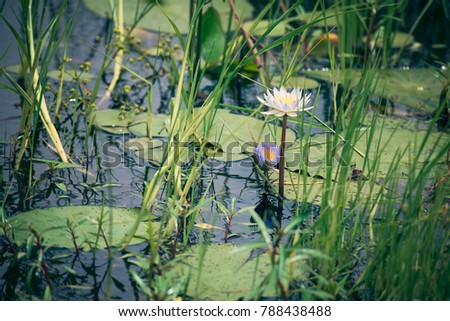 open waterlilly in pond