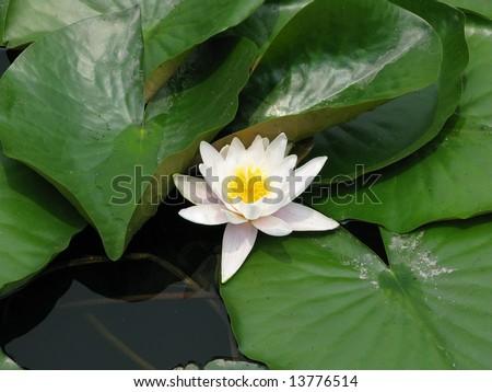 Open white lotus flower in water