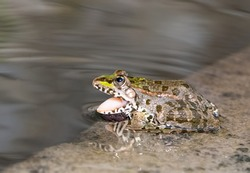 opened his mouth at the water's edge, colorful frog