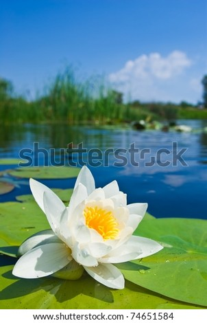 opened white lily on a water