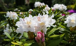 Opening of beautiful white flower of Rhododendron Cunningham's White in spring garden. Gardening concept