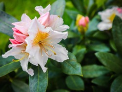 Opening of beautiful white flower of Rhododendron 'Cunningham's White' in the spring garden