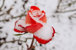 Opening red rose bud white snow close-up