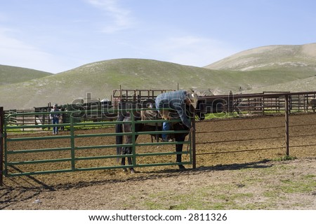 Opening the corral gate at the end of a spring roundup (gathering) of cattle on a California ranch