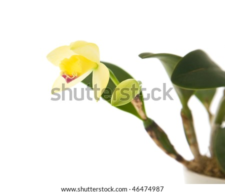 opening yellow cattleya orchid; isolated on white