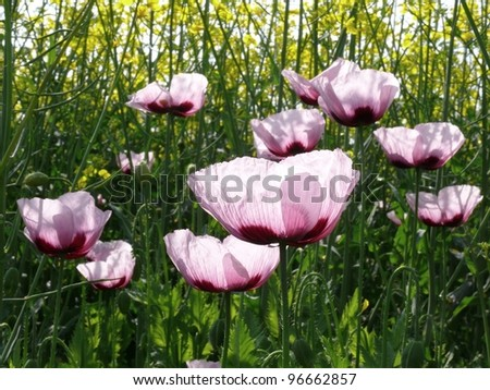 Opium Poppy against sunlight