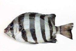 oplegnathus fasciatus