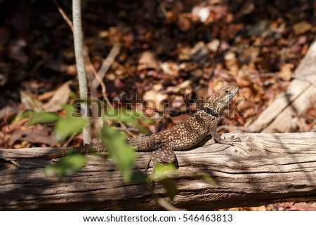 Oplurus cuvieri, commonly known as the collared iguanid lizard, collared iguana, or Madagascan collared iguana. Ankarafantsika National Park, Madagascar wildlife and wilderness #546463813