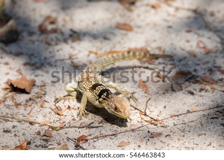 Oplurus cuvieri, commonly known as the collared iguanid lizard, collared iguana, or Madagascan collared iguana. Ankarafantsika National Park, Madagascar wildlife and wilderness #546463843