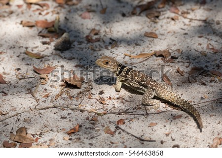 Oplurus cuvieri, commonly known as the collared iguanid lizard, collared iguana, or Madagascan collared iguana. Ankarafantsika National Park, Madagascar wildlife and wilderness #546463858