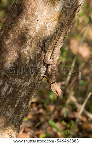 Oplurus cuvieri, commonly known as the collared iguanid lizard, collared iguana, or Madagascan collared iguana. Ankarafantsika National Park, Madagascar wildlife and wilderness #546463885