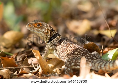 Oplurus cuvieri, commonly known as the collared iguanid lizard, collared iguana, or Madagascan collared iguana. Ankarafantsika National Park, Madagascar wildlife and wilderness #546463900