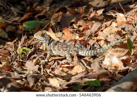 Oplurus cuvieri, commonly known as the collared iguanid lizard, collared iguana, or Madagascan collared iguana. Ankarafantsika National Park, Madagascar wildlife and wilderness #546463906