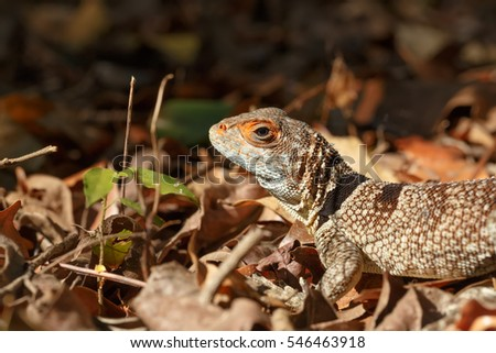 Oplurus cuvieri, commonly known as the collared iguanid lizard, collared iguana, or Madagascan collared iguana. Ankarafantsika National Park, Madagascar wildlife and wilderness #546463918