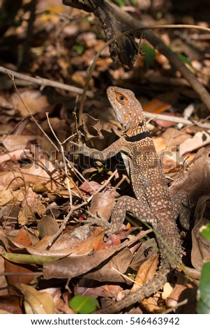 Oplurus cuvieri, commonly known as the collared iguanid lizard, collared iguana, or Madagascan collared iguana. Ankarafantsika National Park, Madagascar wildlife and wilderness #546463942